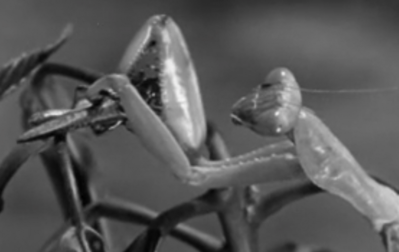 1955 BBC TV Zoo Quest to West Africa – David Attenborough. The Cricket and the Mantis.