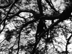 1955 BBC TV Zoo Quest to West Africa – David Attenborough – Jane The Chimp
