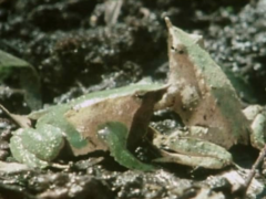 Life on Earth – Darwin's Mouth Brooding Frog. Clip.