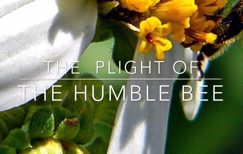 The Plight of the Humble Bee