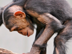 Chimpanzees Mashup